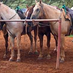 cjm-stables-kauai-horseback-riding-horses