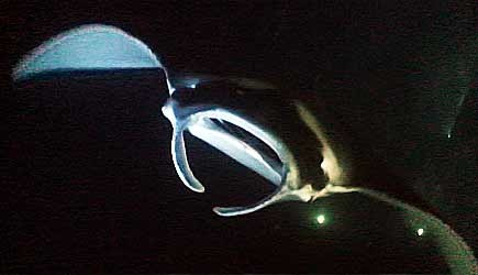 Manta Ray Night Snorkel Manta Ray Night Snorkeling