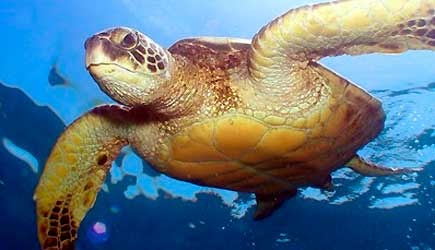 hawaiian sea turtle